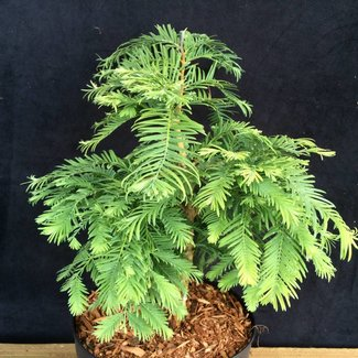 Metasequoia glyptostroboides 'Hamlet's Broom'
