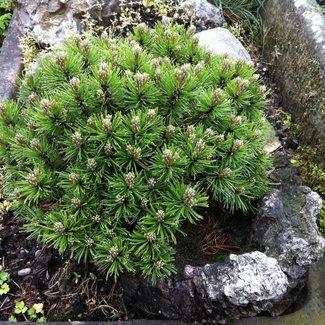 Pinus mugo 'Kleiner Wimbachii'