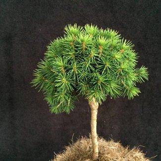 Picea abies 'Jana'