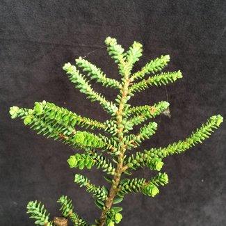 Tsuga canadensis 'Hebefolia'