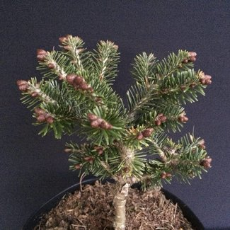 Abies balsamea 'Wollcott Pond'