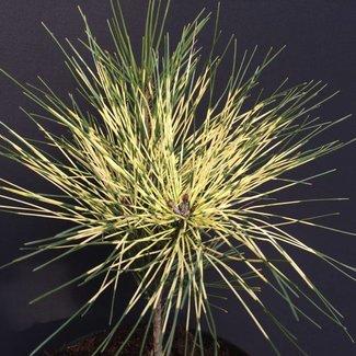 Pinus densiflora 'Shiro Nishiki'