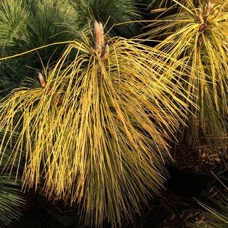 Pinus wallachiana 'Winter Light'
