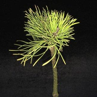 Pinus mugo 'Rysy'