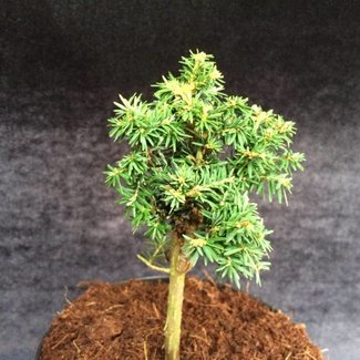 Tsuga canadensis 'Verkade Pin Cushion'