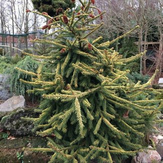 Picea abies 'Catherine's Golden Heart'