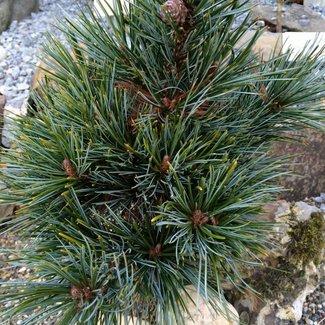 Pinus koraiensis 'Tsingtao'