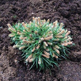 Pinus mugo 'Maruschka'