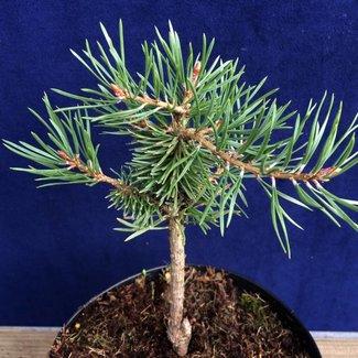 Pinus sylvestris 'Kaltha Norwegen'