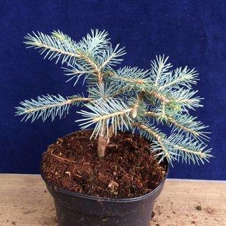 Picea pungens 'Snow Cushion'