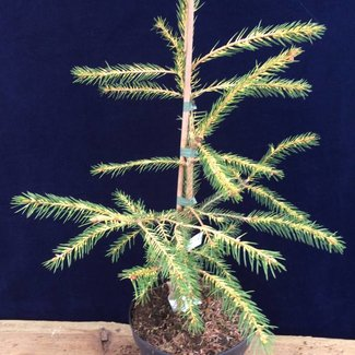 Picea abies 'Razzle'