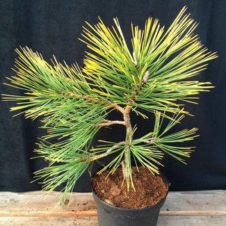 Pinus jeffrey 'Misty Lemon'