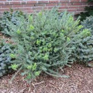 Larix laricina 'Hartwig Pine'
