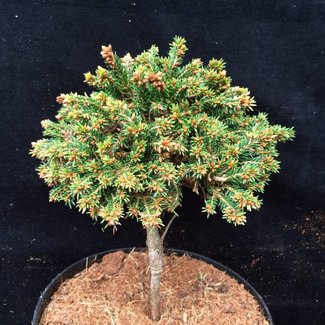 Picea abies 'Krtiny'