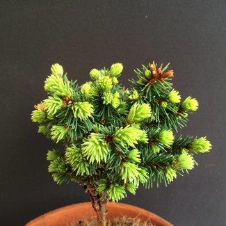 Picea abies 'Pygmaea Hauenstein'