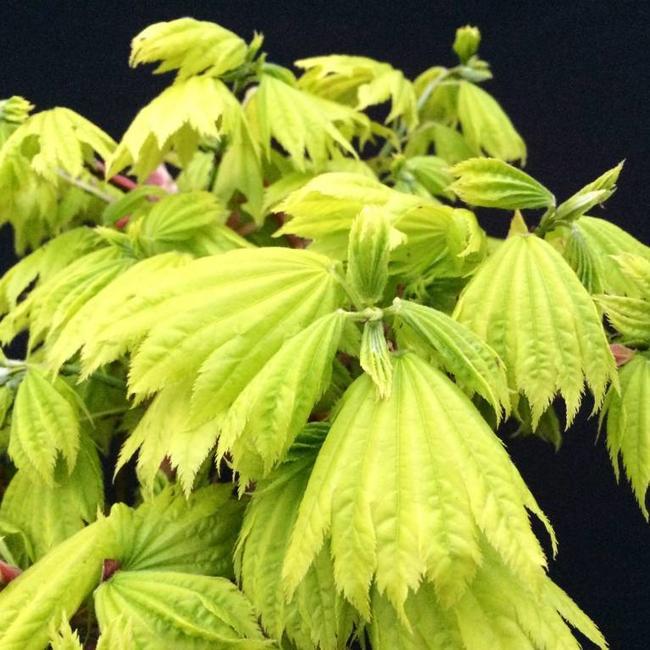 Acer Shirasawanum Aureum Herman Geers