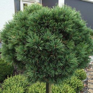Pinus flexilis 'Ririe'