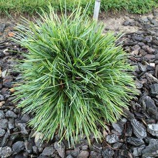 Pinus koraiensis 'Oculus Draconis W.B.'