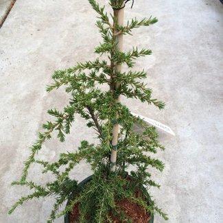 Cedrus brevifolia 'Epstein'