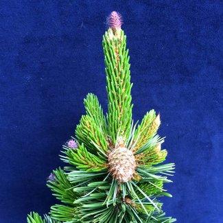 Pinus aristata var. longeava 'Sherwood Compact'