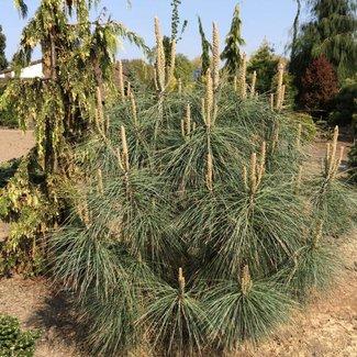 Pinus sabiniana 'Isabella'