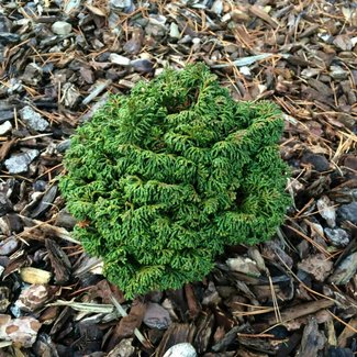 Chamaecyparis obtusa 'Gemstone'