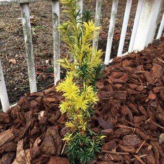 Taxus baccata 'Papageno'