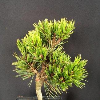 Pinus aristata 'Jeff'