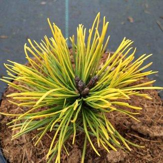 Pinus mugo 'Mops Gold'