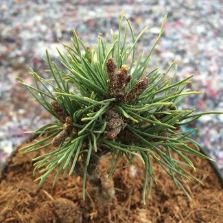 Pinus mugo 'Georgenfeld'