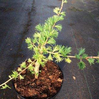 Larix laricina 'A.V. Variegata'