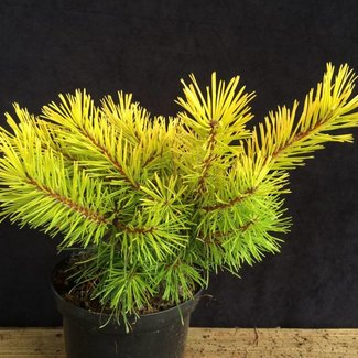 Pinus contorta 'Golden Striker'