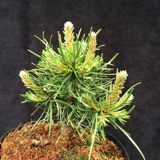 Pinus mugo 'Grass'