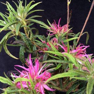 Rhododendron 'Linearifolium '