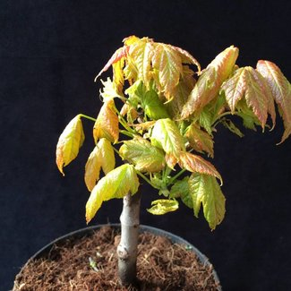 Acer rubrum 'Green Pillar'
