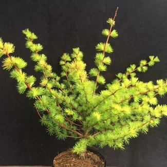 Larix kaempferi 'Magic Gold'