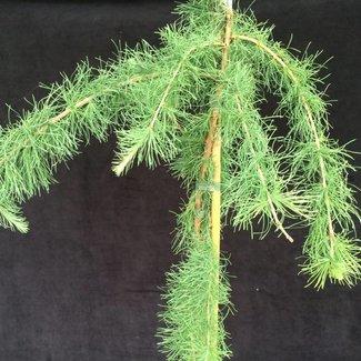 Larix laricina 'Iron Rod'