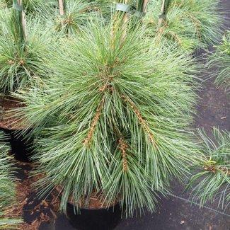 Pinus strobus 'Himmelblau'