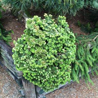 Picea abies 'Van Bemmel's Dwarf'