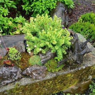 Larix laricina 'Nukwitz'