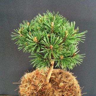 Pinus mugo 'Jitka'