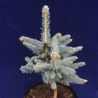 Picea pungens 'Donna's Rainbow'