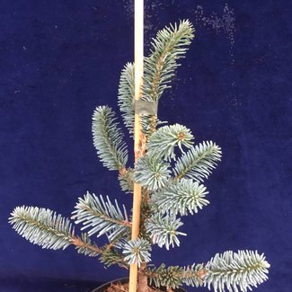 Abies fraseri 'Blue Bonnett'