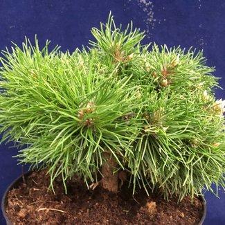 Pinus densiflora x nigra 'Pichounet'
