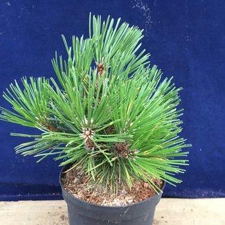 Pinus heldreichii 'Spartacus'