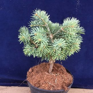 Abies concolor 'Piggelmee'