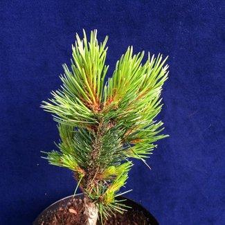 Pinus aristata 'Nr. 142'