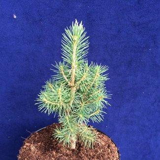 Picea abies 'Karisbo'