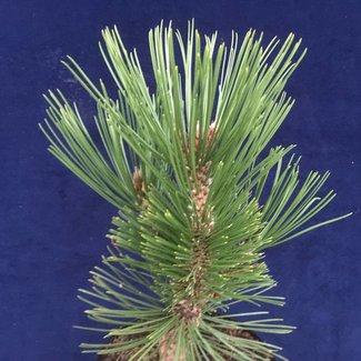 Pinus heldreichii 'Little Dracula