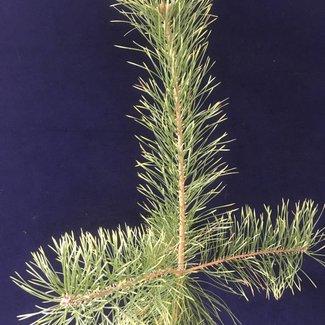 Pinus sylvestris 'Bialogon'